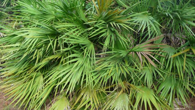 saw palmetto breast