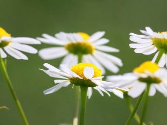 chamomile flowers for relaxation
