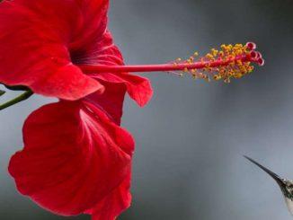 imune system hibiscus tea