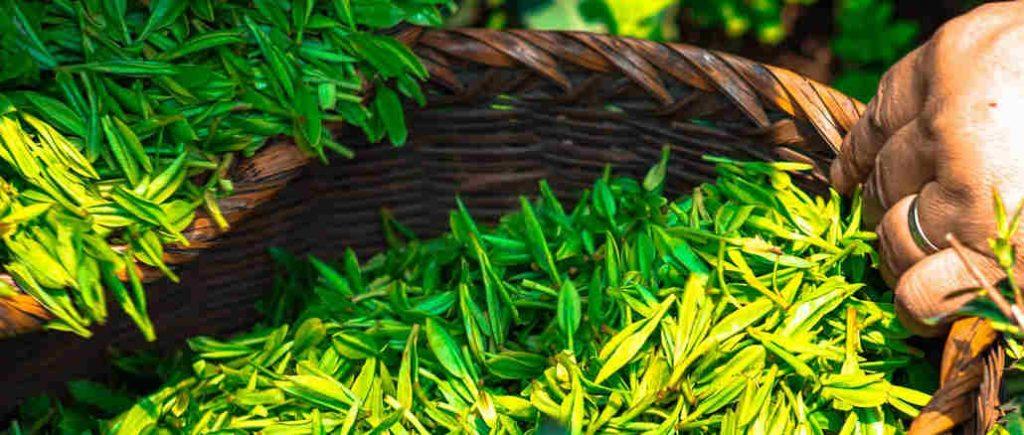 tea harvest time