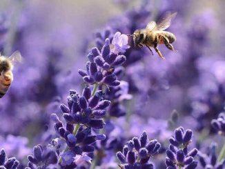 lavender tea for sleep