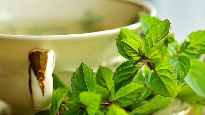 peppermint tea for pregnancy
