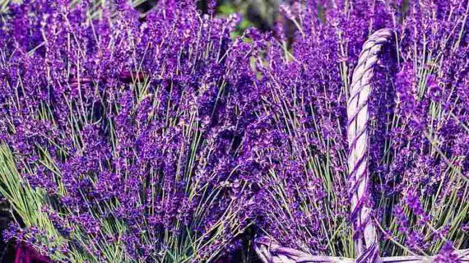 lavender teas