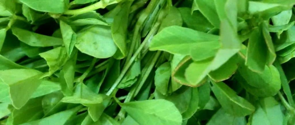 fenugreek fresh