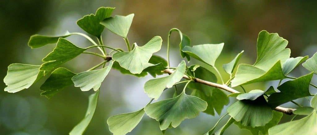 ginkgo plant