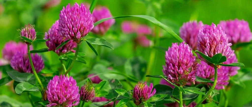 red clover blooming
