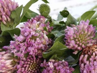 red clover for breast growth